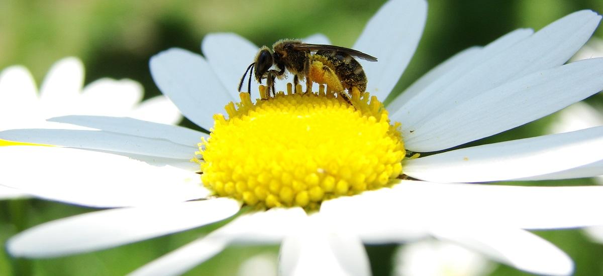 abeille sur marguerite - paris 15