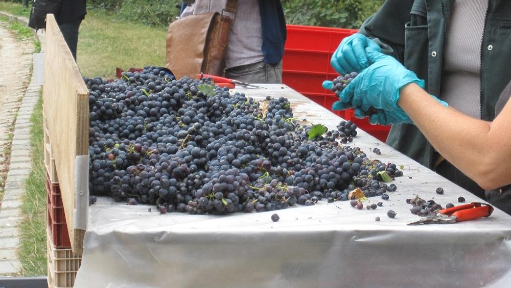 Vendanges Vignes Parc Georges Brassens - Pinot noir - Paris 15