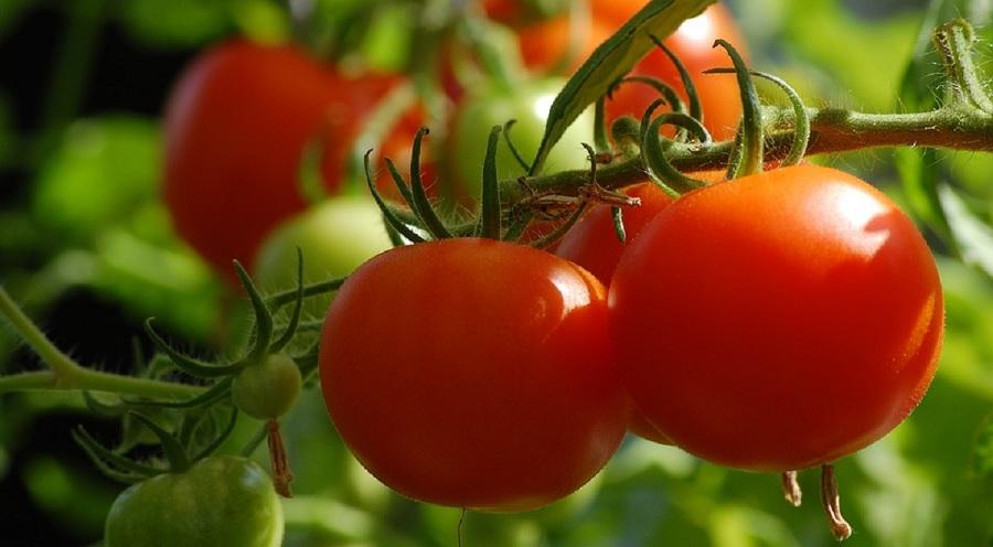 tomate - ferme urbaine - paris 15